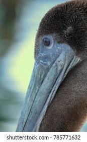 Closeup of Pelican resting