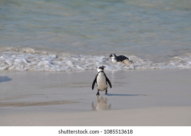 Close-up of penguins on Boulder Beach. The famous colony of African penguins is located near Simon's Town and Cape Town, South Africa.