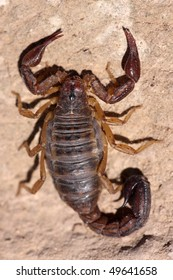 Closeup of peruvian scorpion from Andes