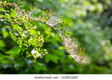 Closeup of a pest larvae caterpillars of the Yponomeutidae family or ermine moths, formed communal webs around a tree.
