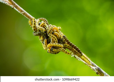 Closeup of a pest larvea caterpillars of the Yponomeutidae family or ermine moths, formed communal webs around a tree.
