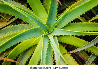 Closeup of the petals of green aloe vera flower. Top view of the top and middle of the flower