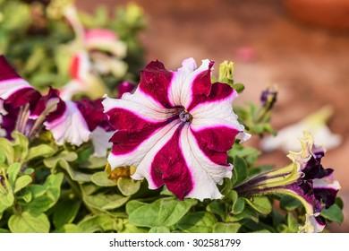 Close-up of Petunia Flower
