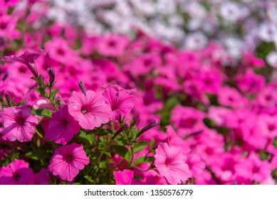Closeup Petunia flowers (Petunia hybrida) in the garden. Flowerbed with multicoloured petunias in springtime sunny day at Ashikaga Flower Park, Tochigi prefecture, Famous travel destination in Japan