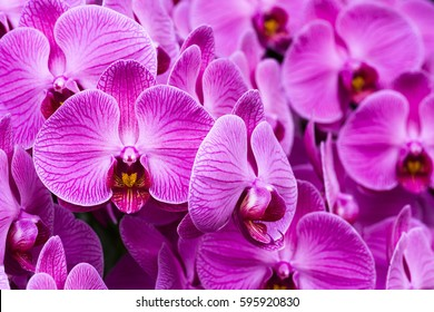 Close-up of phalaenopsis, orchid, Phalaenopsis amabilis