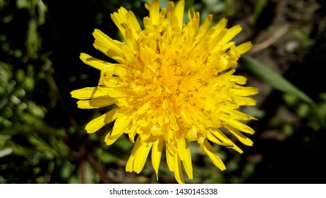 Close-up Pharmaceutical Dandelion (Taraxacum), from the Asteraceae family (Asteraceae). Healthy and medicinal plants from the summer garden.