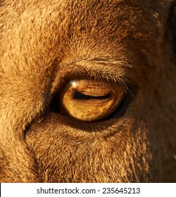 close-up photo of adult male sheep eye
