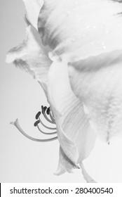 Close-up photo of Amaryllis flower in black and white/ Amaryllis flower