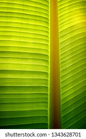 Closeup photo of a banana-tree leaf with sunlight from behind.