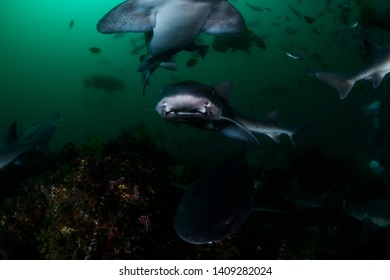Closeup Photo of Banded Hound Shark in Green Ocean Waters of Chiba Japan