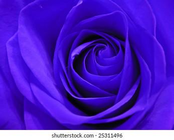 closeup photo of beautiful blue rose flower