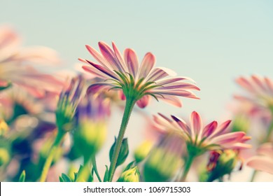 Closeup photo of a beautiful gentle pink daisy flowers reaching for the sun, little tender wildflowers, beauty of spring nature
