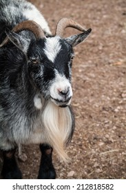 close-up photo of a black and white goat in a zoo