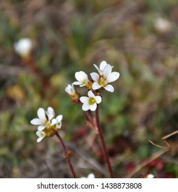 Closeup photo of blossom Saxifrage flowers by a blurred background