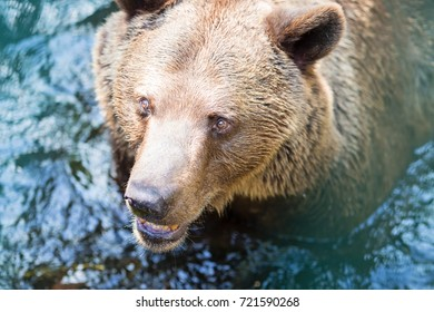 Close-up photo of brown bear standing in a water on sunny bright day