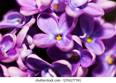 Close-up photo of a bunch of fresh vivid colored purple lilac flowers
