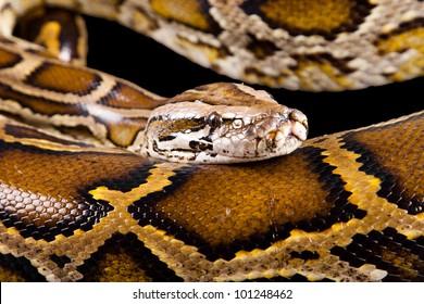 Close-up photo of burmese python (Python molurus bivittatus) isolated on black background.