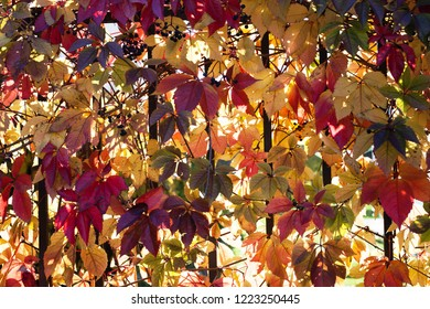 Closeup photo of colorful Virginia Creeper at fall, plant covering iron fence, against sunlight. Photographed at street in Tallinn, Estonia