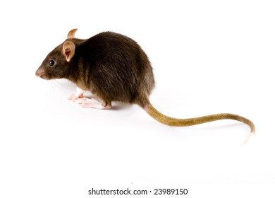 a close-up photo of a common or brown rat