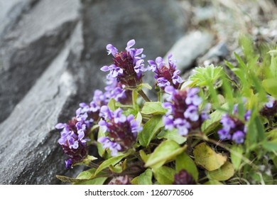 Closeup photo of common self-heal (Prunella vulgaris). Very shallow DOF