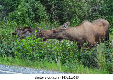Closeup photo of a cow moose eating grass in Denali National Park and Preserve, Alaska, United States