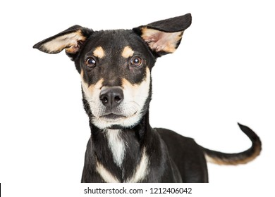 Closeup photo of a cute mixed shepherd breed dog looking forward at camers