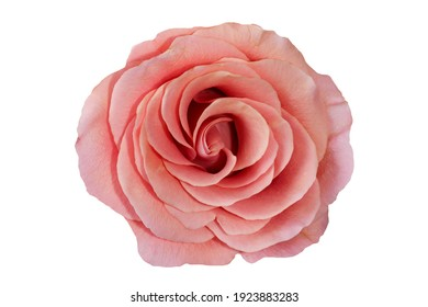 Close-up photo of a cute pink colored rose frontal on white background