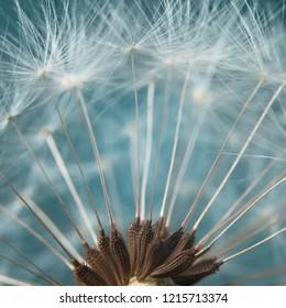 close-up photo of dandelion