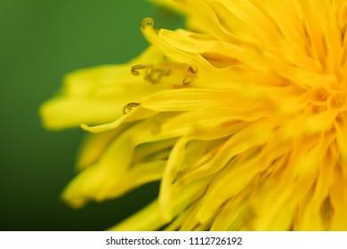 Close-up photo of a dandelion flower.  Swartz Creek, MI, USA.