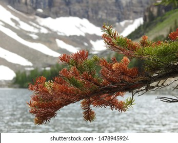 A close-up photo of destroyed foliage by the Mountain Pine beetle, Dendroctonus ponderosae, bark beetle a wood-boring insect on a tree at Lake Agnes, Lake Louise, Banff National Park, Alberta, Canada.
