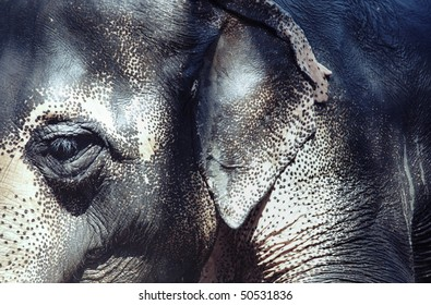 Close-up photo of the elephant with spotty skin. Horizontal photo