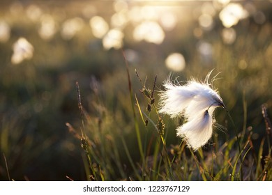 Closeup photo of Eriophorum angustifolium or common cottongrass in early morning sunlight. Photographed in Norway.