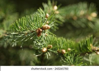 closeup photo of fir branch with buds, springtime