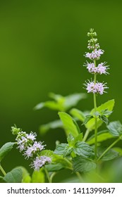 Closeup photo of flower of spearmint plant (Mentha spicata) in the garden