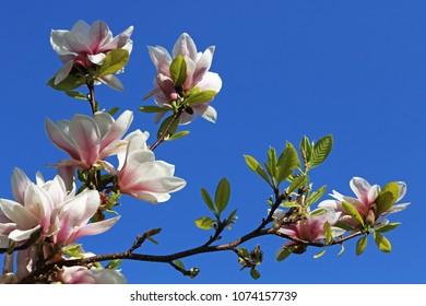 Closeup photo of flowers of the magnolia tree
