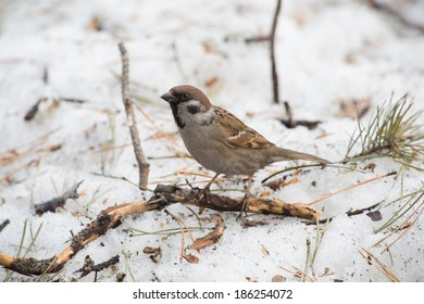 closeup photo of forest sparrow walking on snow