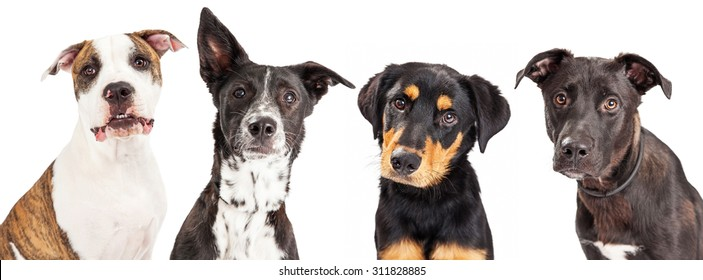 Close-up photo of four cute young dogs of different breeds that are all looking into the camera