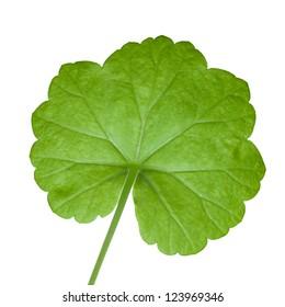 Closeup photo of fresh green geranium leaf isolated on white