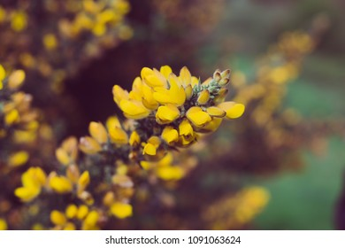 closeup photo of a gorse bush covered in yellow flowers