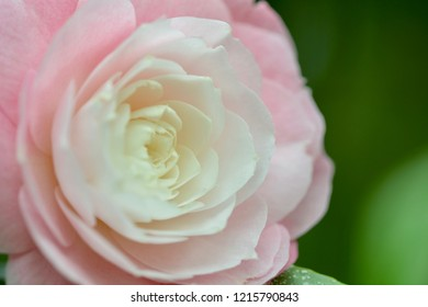 close-up photo; gradual change of colours from pink outside to white inside of the flower