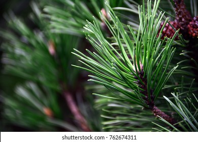 Closeup photo of green needle pine tree on the right side of picture. Small pine cones at the end of branches. Blurred pine needles in background