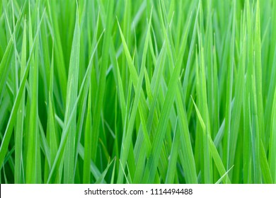 The closeup photo of the green paddy field in the countryside. Agricultural landscape in Taiwan. The concept of organic, fresh, healthy.