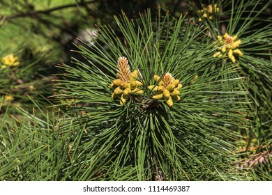 Closeup photo of green pine needles on right side of image. Small pine cones at the end of branches. Blurred pine needles in background. Young shoots of pines in forest spring