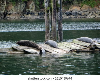 A closeup photo of a group of harbour seal lying on an old dock in the Saanich Inlet,British Columbia, Canada