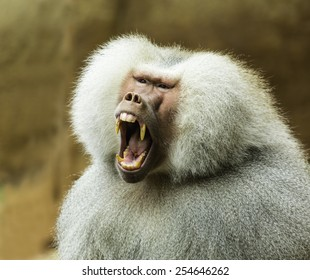 Close-up photo of Hamadryas baboon yawning, showing teeth and wide open mouth