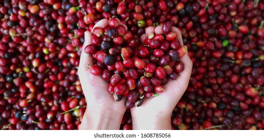 Close-up photo of a hand holding freshly harvested Arabica coffee beans.