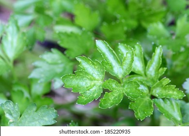 Closeup photo of home grown Italian Flat Leaf Parsley in the garden in Europe