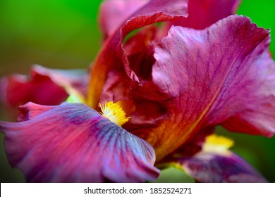 A close-up photo of Iris flower (Iridaceae family). Unusual burgundy flower on dark-green background; shallow depth of field
