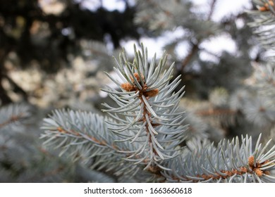 Close-up photo of the leaves of the blue spruce tree. From the pine family