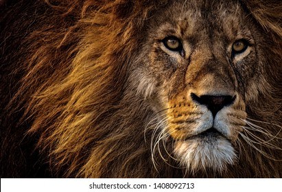 Close-up Photo of Lions Head - Wallpaper